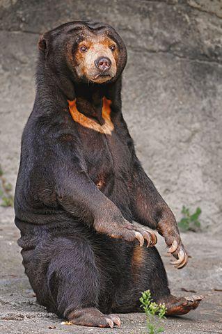 Sumatran Sun bear